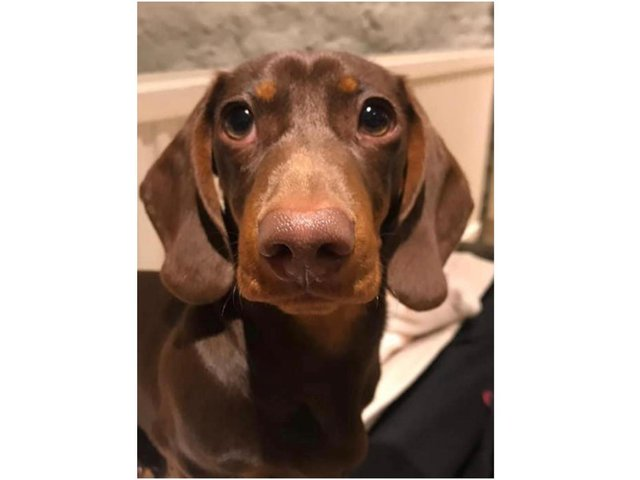 Photo of Milo the puppy stolen from his owner's vehicle in the High Street of Chipping Norton today, Wednesday March 3. (photo from the DogLost website)