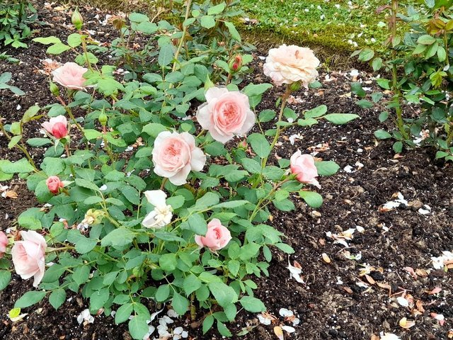Some of the roses at Katharine House.