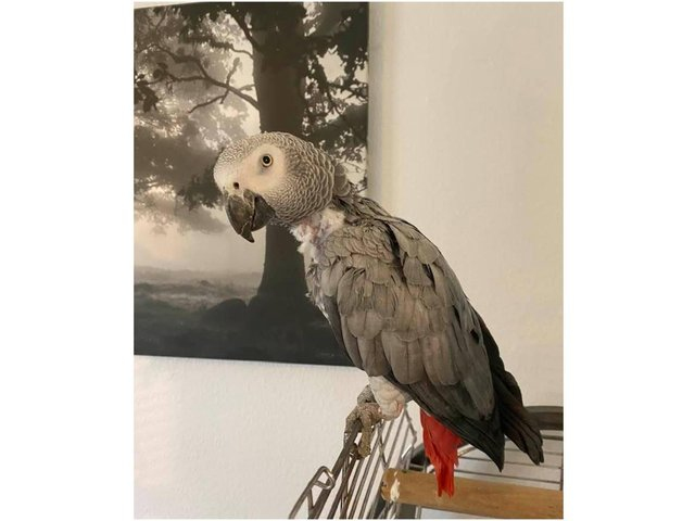 An African grey parrot named 'Sky' was among the property stolen during a home burglary near Croughton South Northamptonshire (Image from the owner Sarah White)