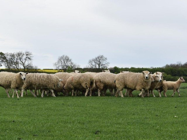 Two dog owners received conditional cautions for livestock worrying in connection to the attack on some sheep in a field near Shipston last month. (File sheep image)